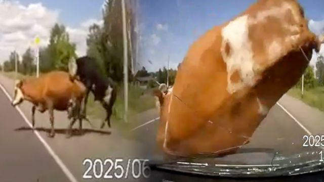 News video: Luscious Cow Sex Interrupted by Speeding Car